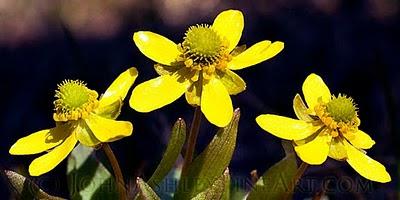 Mid-April buttercups (c) John Ashley