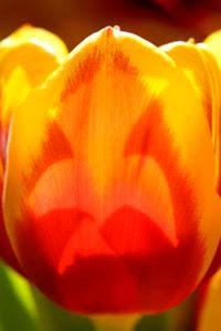 Spring Tulip (c) 2009 John Ashley