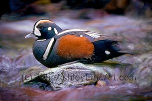 Harlequin Duck (c) 2009 John Ashley