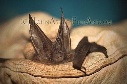 Aptly-named Townsend's Big-eared Bat. (c) John Ashley.