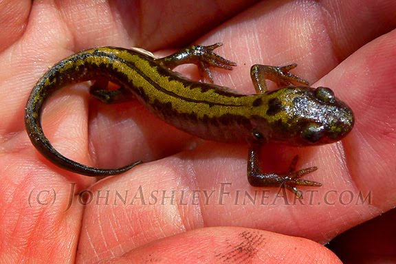 Adult long-toed salamander (c) John Ashley