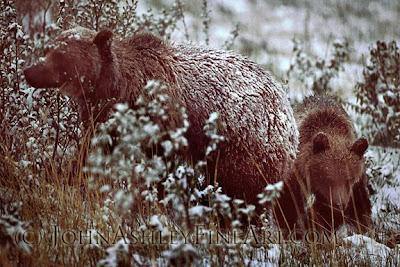 Grizzly bear sow and cub (c) John Ashley