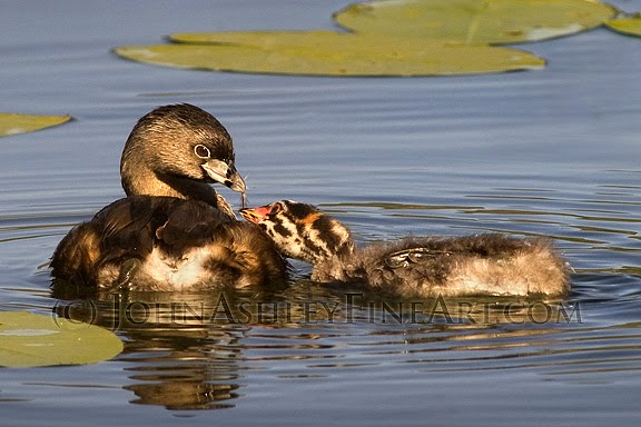 Adult Pied-billed Grebe feeding a downy feather to one of its chicks (c) John Ashley