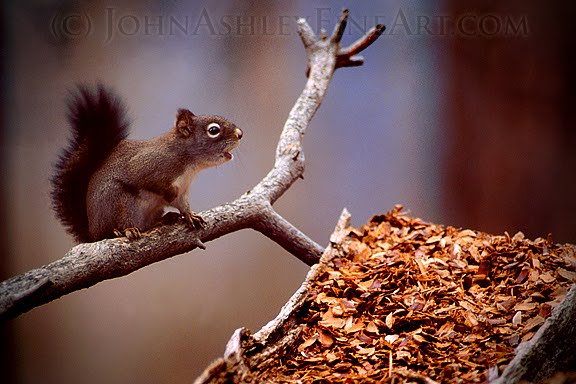 Chattering red squirrel at feeding site (c) John Ashley