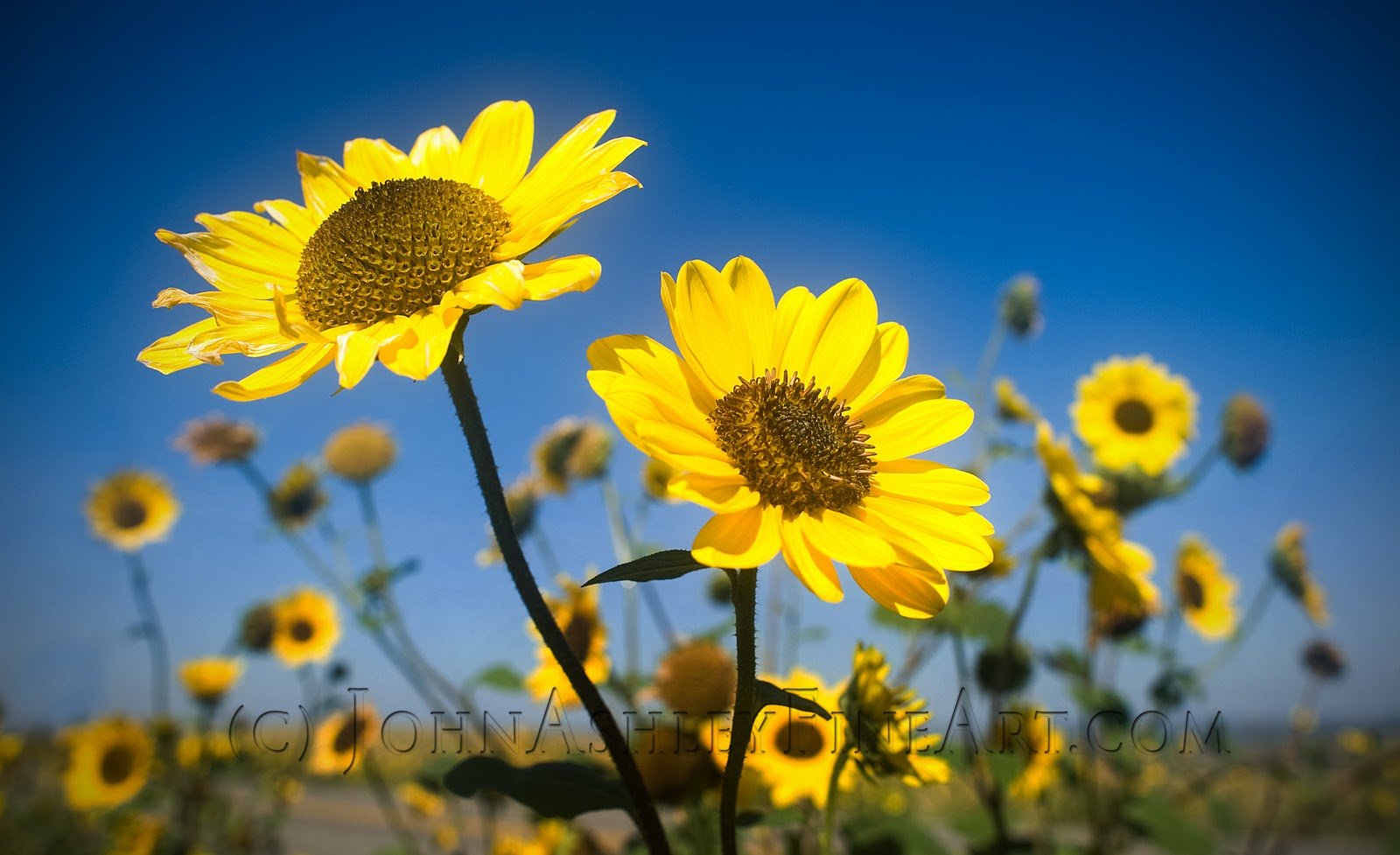 Wild roadside sunflowers nears Billings, MT (c) John Ashley