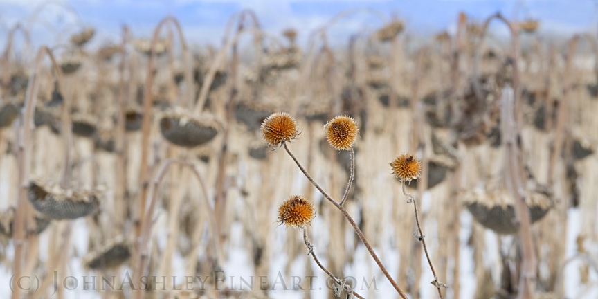Wild and cultivated sunflower stalks (c) John Ashley