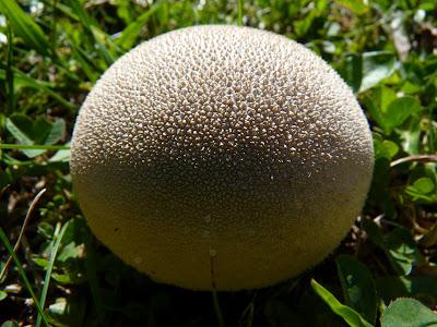 champignons vercors