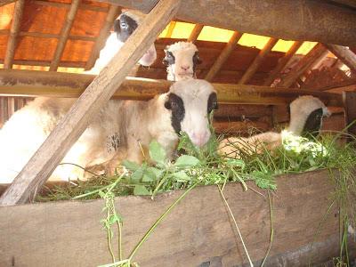 http://1.bp.blogspot.com/_dbo4h5aUuPk/S25l5xalNmI/AAAAAAAAAr4/AIwJ6rCiKvA/s400/kambing+makan.jpg