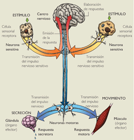 external image NEURONA+SENSITIVA.png