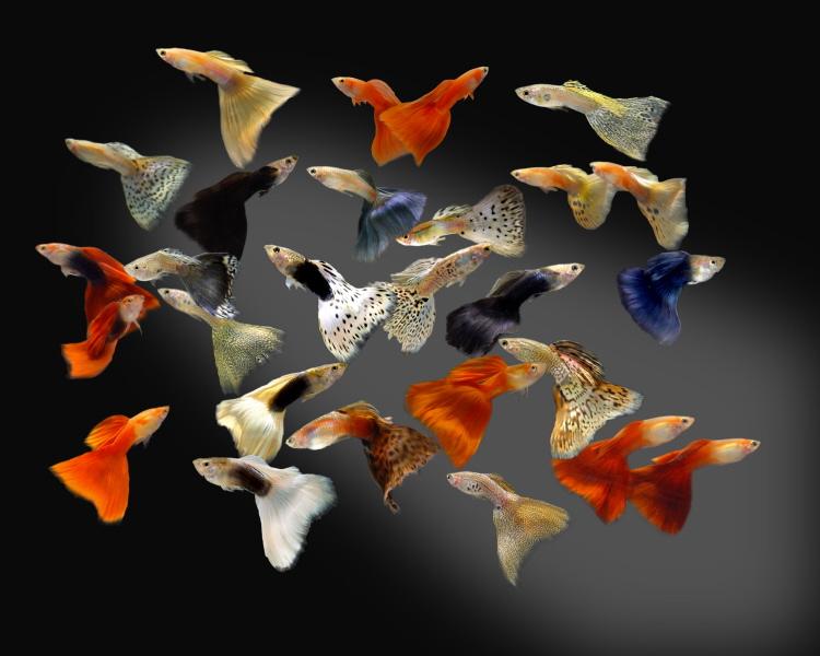 guppies for sale at Arbete anvnder sig guppyfish-systemetjul , facebook