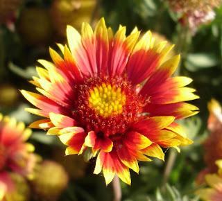 blanket flower or torchlight gallardia