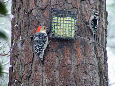 female Red-bellied Woodpecker and male Downy Woodpecker
