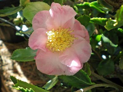 Camellia 'Winter's Sunset'