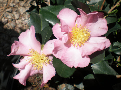 Camellia 'Long Island Pink'