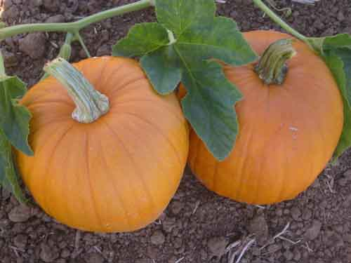 Photobucket | pumpkin seeds Pictures