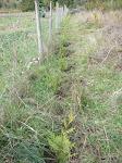 Leylandi Cypress Hedge