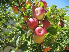 Manzanas Orgánicas son saludables