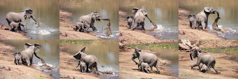 Elephant Crocodile Trunk Crocodile Attacks Elephant