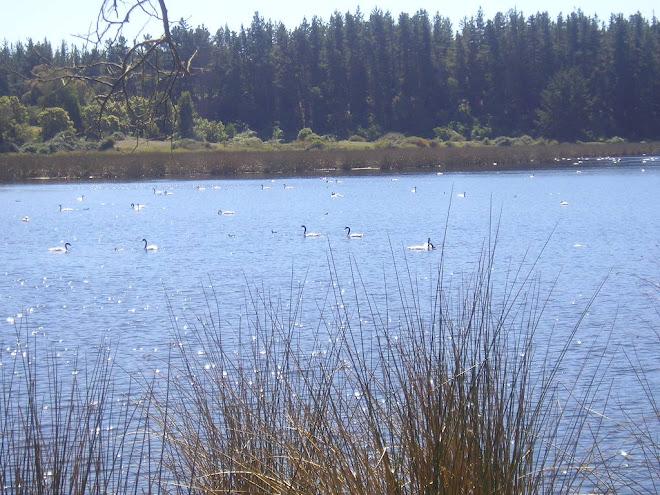 Cisnes de Cuello Negro en su hábitat.