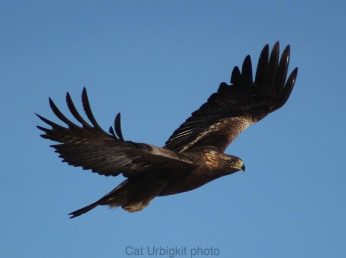 golden eagle flying. The images of the golden eagle