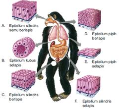 Seperti pada tumbuhan, tubuh hewan juga multiseluler, terdiri atas