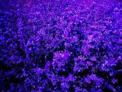 bunga_lavender