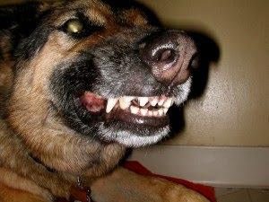 german shepherd growling - photo #24