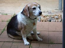 barky beagle boy 1998-2009