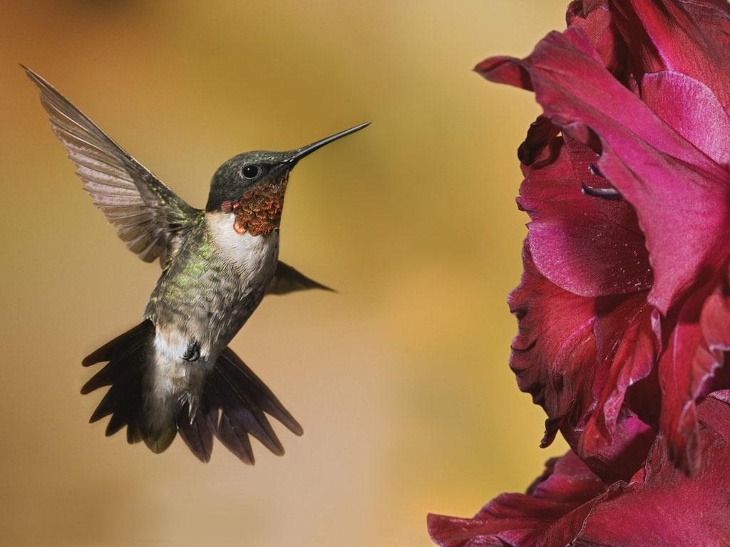 ハチドリの画像 p1_36