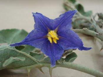 Solanum lycocarpum A. St.-Hill. (Solanaceae)