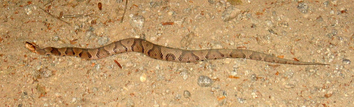 Copperhead on Craig Creek Rd
