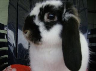 konijn achterpoten kaal