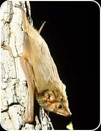Arnhem Sheathtail Bat (Taphozous kapalgensis)