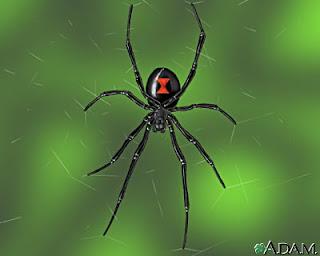 Black Widow Spider (Latrodectus mactans )