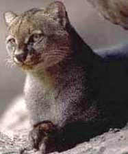 Jaguarundi Felis (Yagouaroundi cacomitli)