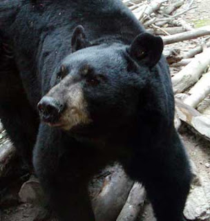 Louisiana Black Bear (Ursus americanus luteolus)