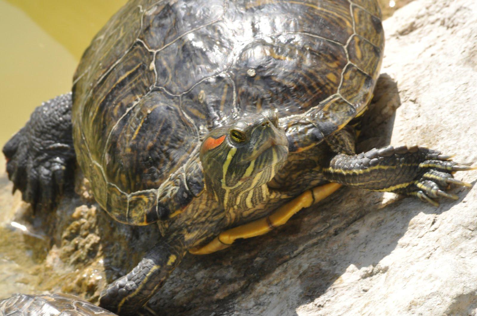 Dilettante allo sbaraglio le tartarughe dei giardini for I gatti mangiano le tartarughe