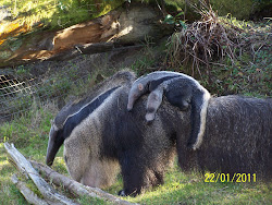 Mama & Baby Anteater SF Zoo 1/2011