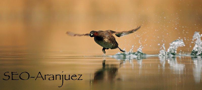 SEO-Aranjuez (grupo local de SEO/BirdLife)