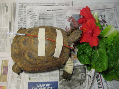 Desert tortoise anatomy