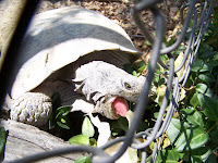 This is HARVEY, the turtle my parents neighbor has had living in his yard for 30+ years. Mom feeds him, when the 90-year-old neighbor is out camping in Northern Arizona or visiting his family. He comes when he is called my his name! My kids always go looking for Harvey, almost immediately after arriving at my parents house! I wonder what will happen to Harvey, when the old guy is gone....