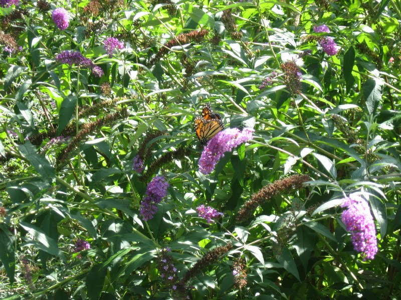 The Highlight For Me Was The Butterfly Garden Near The Route 133 Entrance.  Apparently A Butterfly Garden Consists Of Plants Chosen To Attract  Butterflies.