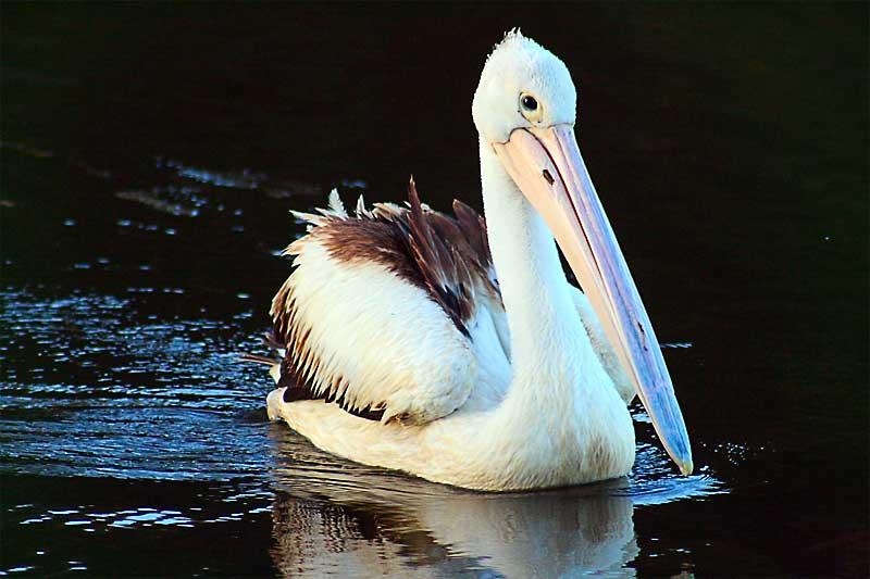[pelican1.jpg]