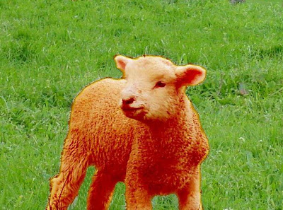 orange lamb standing in a field