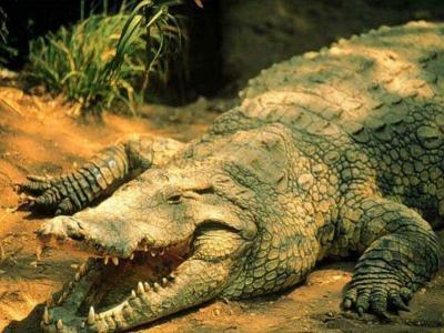 ANIMALES SALVAJES: los cocodrilos...