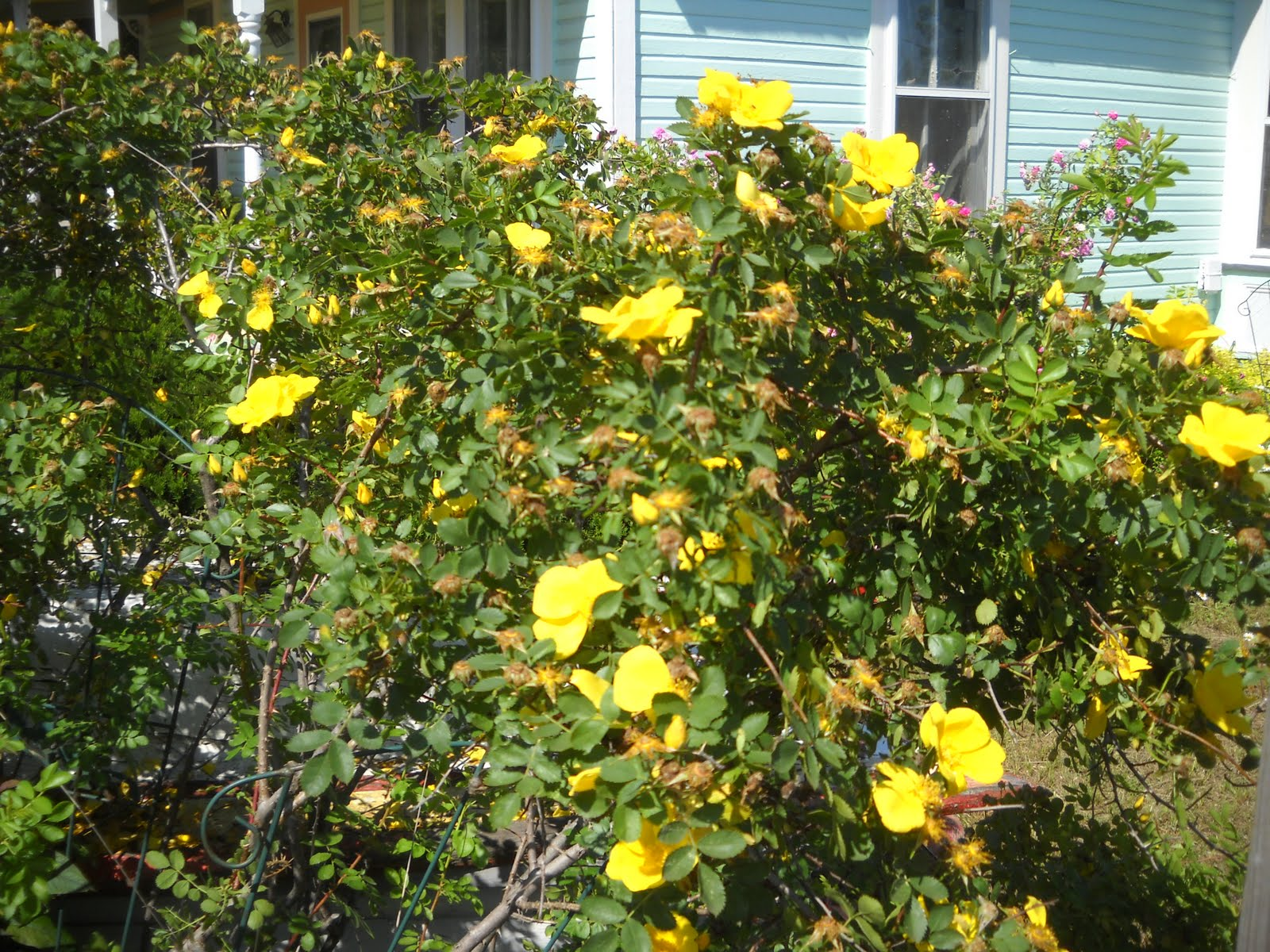 Arts Bayfield Almanac 62410 Theres A Yellow Rose In Texas