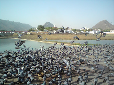 Pigeons having their grains at the Pushkar Lake
