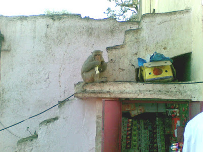 A monkey at the Govind Devji Temple, Jaipur