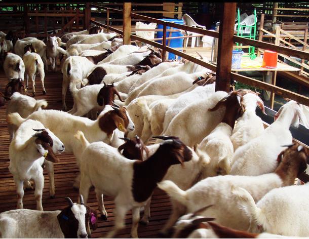 harga kambing kurban