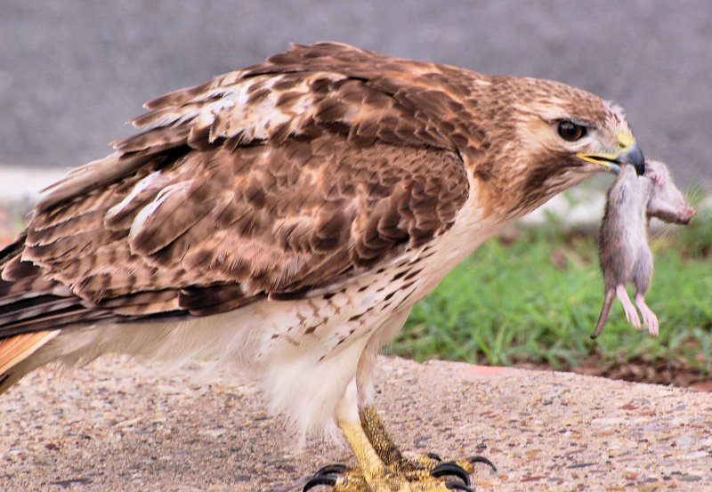 RedTailed Hawk vs Snake